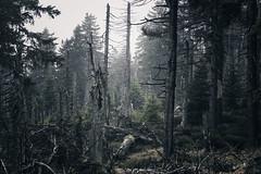 Creepy forests in harz mountains (Gruenewiese86) Tags: harz hã¼tte wald wã¤lder forest forestscape landschaft landscape germany german harzer wälder wandern waldlandschaft explore hütte