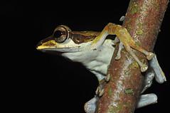 Dark-eared Treefrog (Polypedates macrotis) (Sky and Yak) Tags: darkeared treefrog polypedates macrotis kubah