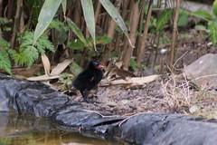 "Moorhen ""Gallinula"" Chick (Kay Musk) Tags: moorhen gallinula bird chick pond wildlife wild nature nikond3200 essex uk"