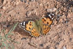 Distelfalter - Fuerteventura, NGIDn1509350522 (naturgucker.de) Tags: ngidn1509350522 naturguckerde distelfalter vanessacardui 1038097865 1062798284 426437582 crolfjantz