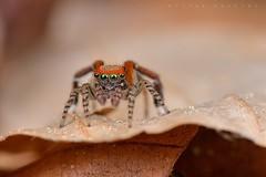 Saitis barbipes, mâle (Cieutat) (G. Pottier) Tags: saitisbarbipes saitis salticidae jumpingspider saltique araignéesauteuse spider araignée