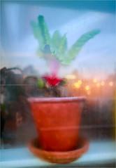 The Steamy Winter Window @ the Rosendals Garden greenhouse café (ZoeEnPhos) Tags: rosendalsträdgård window refllections rosendalgarden greenhouse flower pottedflower stockholm djurgården sweden sverige canoneos closeup bokeh waterdrops plant