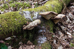 Shrooms (MatMat Brown) Tags: fungus leaves moss mushroom shroom wood