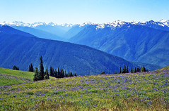 Olympic Mountains - Olympic National Park - Washington -  1984 (bigjohn1941) Tags: flowers blooming meadow olympic national park washington