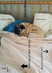 Sleeping with a Pug 101 (blamstur) Tags: olive pug dog bed funny