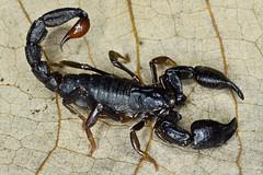 Chactidae, Chactopsis sp. (aracnologo) Tags: amazon amazonbiome amazonia amazonforest amazônia marabá pará chactidae chactopsis escorpião scorpiones scorpion alacrán