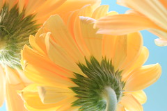 Sunny afternoon (alideniese) Tags: macro closeup flowers gerbera flora petals light bright stem yellow green colour colourful nature blue