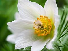 European pasqueflower (Jens Flachmann) Tags: spring flower meadowanemone pasqueflower prairiecrocus windflower nature plant bloom blooming white macro germany bielefeld pulsatilla pulsatillavulgaris closeup