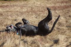 15/52/17 Riddle........ (Hodgey) Tags: dog josh lab roll springroll 52weeksfordogs riddle maine