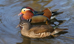 IS7DII_33877 (Ian Slingsby) Tags: mandarinduck endcliffepark sheffield bird duck