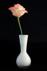 Rose (http://www.paradoxdesign.nl) Tags: rose pink red orange flower vase white glass fragile floral flora florist