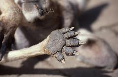 ZOO0258 (Akira Uchiyama) Tags: 動物たちのいろいろ 手 手カンガルー