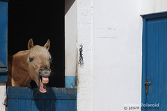 Ça va? (farahleon) Tags: tanger horse morocco royalclubequestredetanger