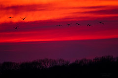 flying  birds (mariola aga) Tags: sunset evening sky twilight birds meadow trees silhouettes flying infinitexposure thegalaxy