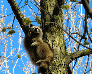 Mignon raton / Cute raccoon / 5