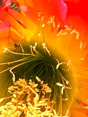 Red Cactus Flower Interior (Chic Bee) Tags: civanoplantnursery redcactus plant flower flowerpot tucson arizona usa americansouthwest southwesternusa america