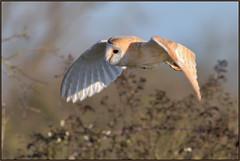 Barn Owl (image 1 of 3) (Full Moon Images) Tags: rspb fen drayton lakes wildlife nature reserve cambridgeshire bird prey birdofprey flight flying barn owl
