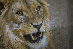 Die Zähne zeigen (DeanB Photography) Tags: 1dmarkiv affen beutelteufel bären canon duisburg gorilla gruppentreffen katzen koala raubtiere teufel tier tiere tierpark tiger wildpark zoo zootreffen animal gefährlich