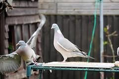 21 April 2017 (41) (AJ Yakstrangler) Tags: yakstrangler pigeon pigeons