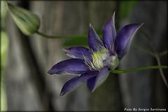 In my garden #6 (celestino2011) Tags: clematis fiore natura giardino nikon85mm