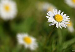 Daisy (thierrymazel) Tags: daisy paquerette fleurs flowers blossoms macro nature printemps spring bokeh profondeur champ pdc