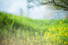 beside the track (N.sino) Tags: m9 summiluxm50mm flowers 菜の花 お花畑 線路脇 西武多摩川線 野川 野川公園 武蔵野公園
