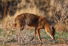 Coyote (Circled Thrice) Tags: coyote mammal fauna rma rockymountainarsenal nationalwildliferefuge aurora denver commercecity colorado co wild wildlife nature natural meadow canon eos rebel t5i sigma