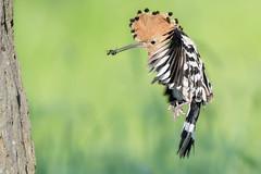 Hoopoe (Upupa epops) (Fal_B) Tags: wiedehopf upupa epops upupaepops hoopoe bird birds birdphotography bulgaria bulgarien feeding nest nikon nikondigital nature naturephotography naturfotografie nikkor600 nikkor600mm nikondx nikond500 afs4600mmvr flickrnature wildlife wildlifephotography wildwonderofeurope wildwondersofeurope wildeseuropa falcobeutler falcowildlifephoto cometobg vogel vögel vogelfotografie nonpasseriformes birdsinflight birdinflight nichtsingvögel wildesbulgarien