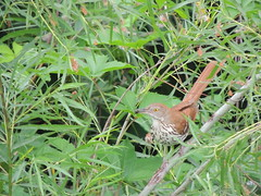Brown Thrasher (Two Cats Productions) Tags: