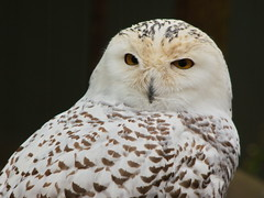 Snowy Owl43 (dennisgg2002) Tags: bronx zoo new york city nyc ny
