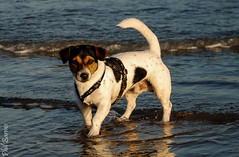 Chief paddling! (philbarnes4) Tags: broadstairs chief water dog canine puppy hound jack russell terrier viking bay
