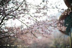 天元宮櫻花 (Jill-Wang) Tags: 天元宮 櫻花 sakura m9 noctilux sunlight