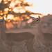 Gazelle at Sunset