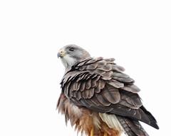 Swainson's hawk (jlcummins - Washington State) Tags: swaisonshawk kittitas kittitascounty washingtonstate bird wildlife nature raptor