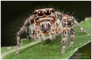 Jumping Spider / Araña Saltarina