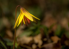Yellow Trout Lily.... (Kevin Povenz Thanks for the 3,000,000 views) Tags: 2017 april kevinpovenz westmichigan michigan ottawa ottawacounty hagerpark flower wildflower nature yellow macro sigma70mmmacro canon7dmarkii