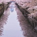 Cherry petals fallen on the river III (kazs2307) Tags: spring cherry cherryblossoms flower サクラ 目黒川 春 花 花筏