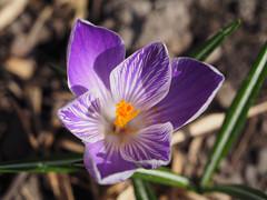 Wiosna Frühling Spring 2017 (arjuna_zbycho) Tags: wiosna frühling spring krokusy krokus szafran croci crocus zafferano blume flower kwiat natur blumen nature makrofoto owad