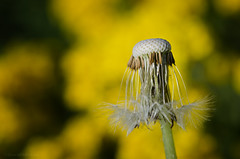 just dandy (sure2talk) Tags: justdandy dandelion seedhead yellow nikond7000 nikkor85mmf35gafsedvrmicro macro closeup april2017amonthin30pictures 2330