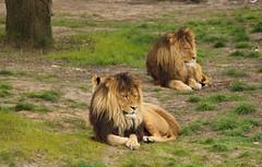 Lazy boys (lions, leeuwen) (ToJoLa) Tags: canon canoneos60d 2017 safaripark beeksebergen voorjaar spring lente animals dieren dierentuin noordbrabant zoo lazy