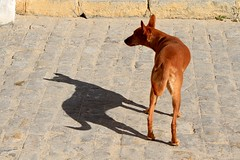 ombra (Carme Carles) Tags: sombra shadow ombra perro dog gos