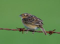 Grasshopper Sparrow (George McHenry Photography) Tags: grasshoppersparrow sparrow birds southcarolinabirds southcarolina