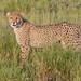 Cheetah Cub - Acinonyx jubatus (rosebudl1959) Tags: 2017 botswana centralkalaharigamereserve deceptionvalley cheetah cub