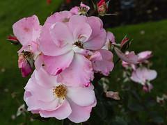 rose 'heartache' (Virginia McMillan) Tags: flowers roses new zealand wellington