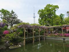 Wisteria Festival at Kameido Tenmangu Shrine (walking.biking.japan) Tags: tokyo kameido kotoku shrine flowers tokyoskytree