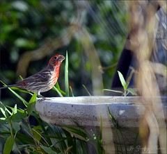 Male House Finch (Jo Z..Another Hot Day On The Mesa!!) Tags: red house male bird bath finch morningphotos
