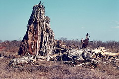 Baobab Tree, destroyed by elephants, Tsavo East NP, Aug 1973 Kenya img163 (Hart Walter) Tags: tourism coffee cattle rice tea goats sunflower sisal camels sugarcane deforestation desertification tef africanlanduse baobabdestruction