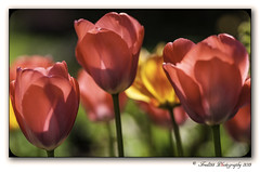 Tulips (Fred255 Photography) Tags: uk england nature gardens canon spring tulips 85mm hampshire fred f18 ef janeausten manfrotto eos1ds markiii nonmacro ef85 greatphotographers nonhdr 1dsmk3 canoneos1dsmarkiii naturethroughthelens fred255 galleryoffantasticshots