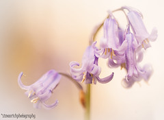 Bluebells. (Simon Rich Photography) Tags: wild flower macro nature beautiful bluebells canon petals stem pretty dof eos5d simonrich mrmonts simonrichphotography