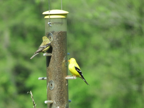 American Goldfinch - Missouri by SpeedyJR